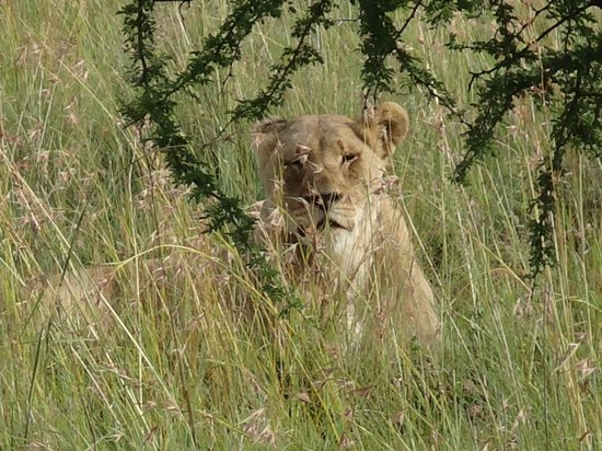 Tshukudu Bush Lodge: lionness