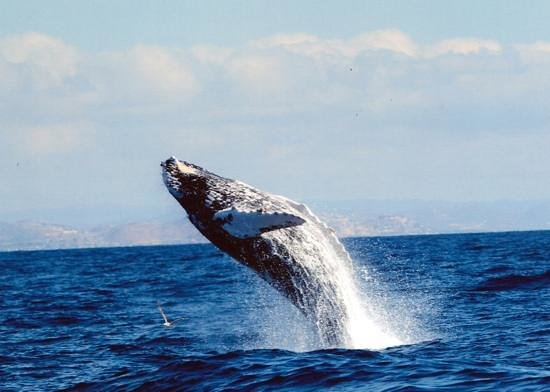 Las Ventanas al Paraiso, A Rosewood Resort: whale jumping in the Sea of Cortez
