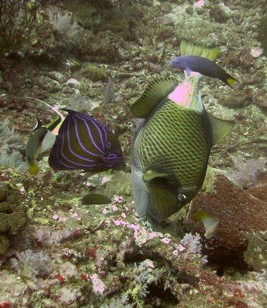 Scandinavian Divers Khao Lak: Giant Triggerfish