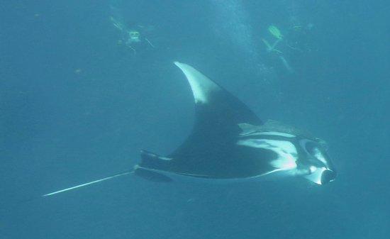 Scandinavian Divers Khao Lak: The 2nd Manta