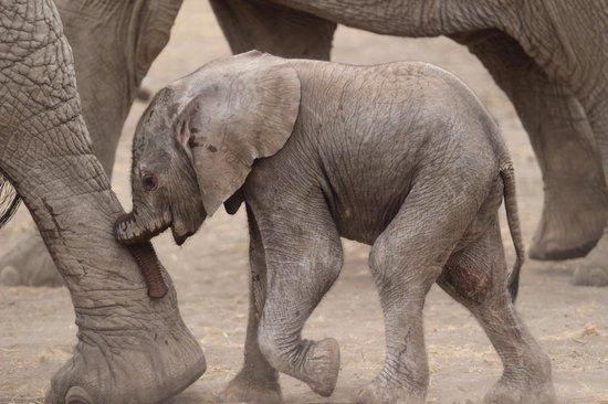 Mara Bushtops: A one-day old elephant!
