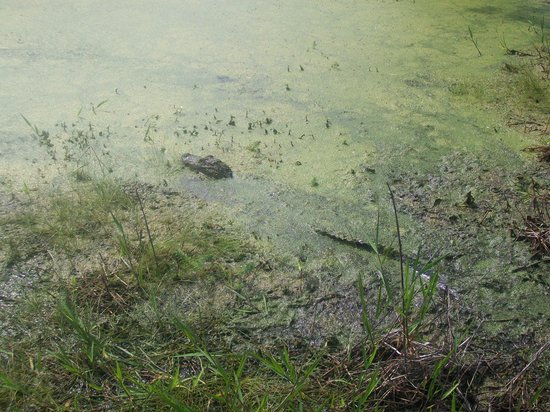 Magnolia Plantation & Gardens: One of the many alligators we saw on the Swamp Walk