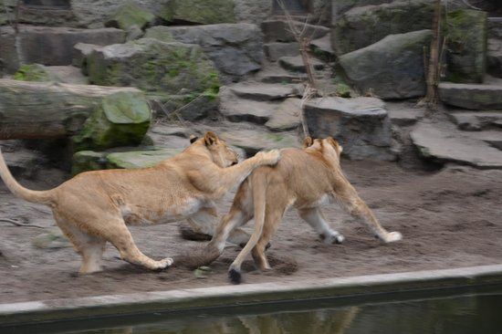 ARTIS Amsterdam Royal Zoo: lion