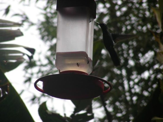 Catarata Del Toro B&B: Hummingbirds at the common area