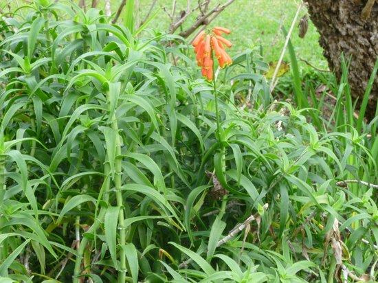 Palheiro Gardens: CLIMBING ALOE-SOUTH AFRICA ALOE STRIATULA