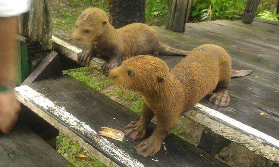 Reserva Natural Palmari : The hotel had two ADORABLE giant river otter babies as pets - now they are grown up