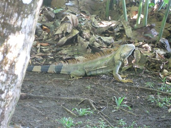 Evergreen Lodge: Iguana