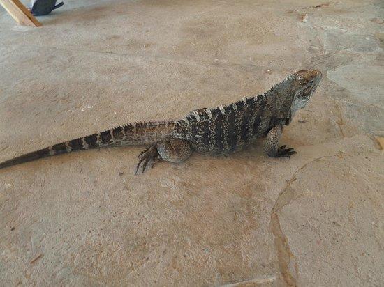 Gran Caribe Club Coral: iguana