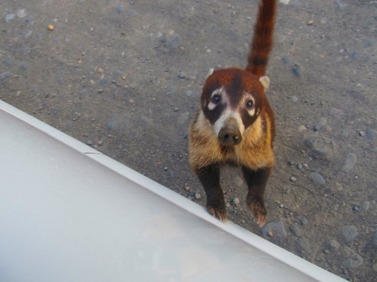 Nepenthe B&B: Coati on road to Nepenthe