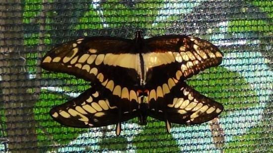 Ciudad Cortes, Costa Rica: Schitterende vlinders