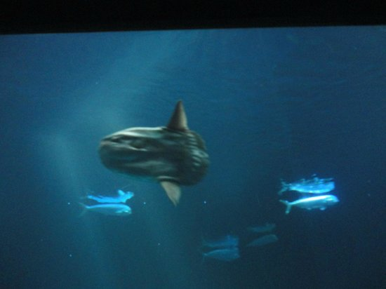 Monterey Bay Aquarium : Sun fish