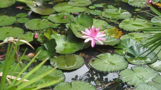 Balenbouche Estate: Lotus flower on one of several natural ponds