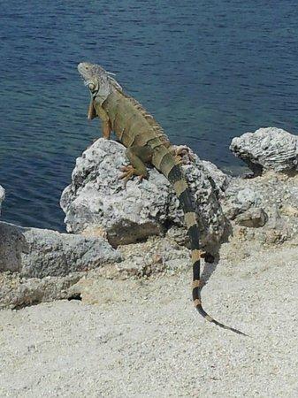 Atlantic Bay Resort : Iguana on water's edge