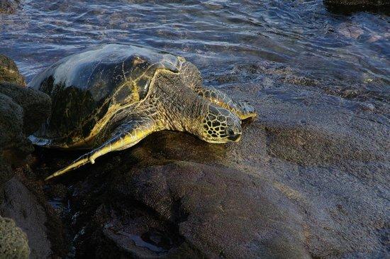 Noelani Condominium Resort: Turtles right on the beach below the condo