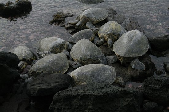 Noelani Condominium Resort : Lots of Turtles!