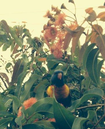 Coast Resort Merimbula: Rainbow lorrikeets