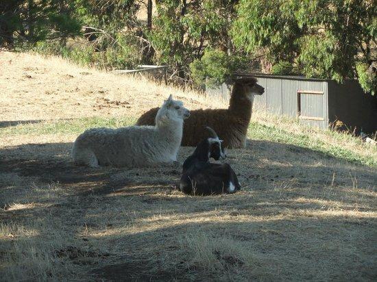 Hatcher's Manor: lamas