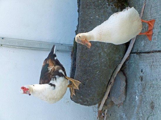 Hatcher's Manor: ducks