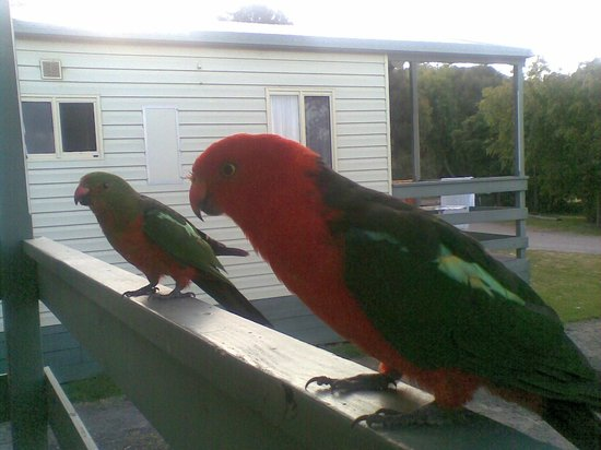 Kennett River Holiday Park : If you have seed, the birds are friendly!