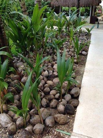 El Dorado Sensimar Riviera Maya: coconut garden
