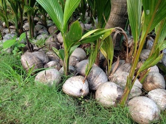 El Dorado Sensimar Riviera Maya: another coconut garden