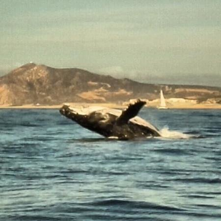 Cabo Expeditions: ballena