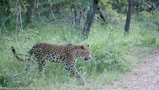 The River Lodge At Thornybush: Male leopard on game drive
