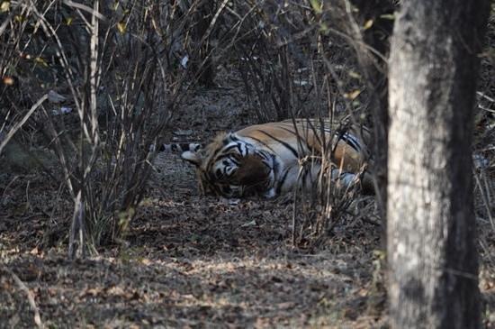 The Pugmark: Sleeping tiger at Ranthambore.