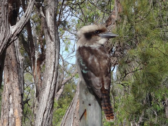 Gracetown Caravan Park Our friendly Kookaburra Sitting on the Fence Post right near my tent & Our friendly Kookaburra Sitting on the Fence Post right near my ...