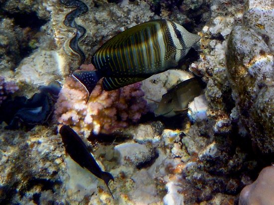 Marsa Shoona Bay: pesce di barriera
