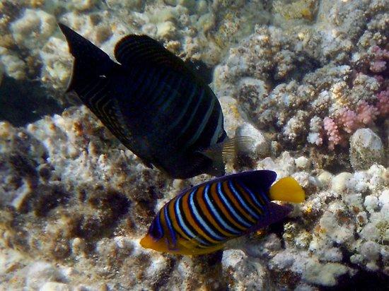 Marsa Shoona Bay: pesci di barriera