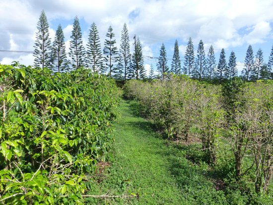 Kauai Coffee Company: grounds