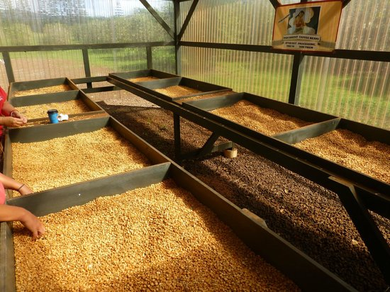 Kauai Coffee Company: part of the process