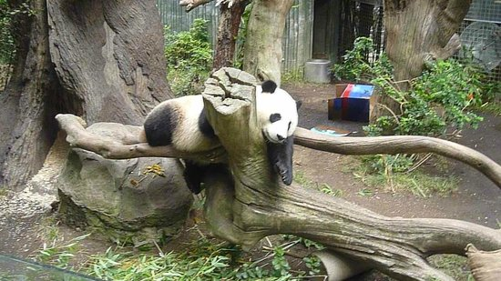 San Diego Zoo : Urso Panda