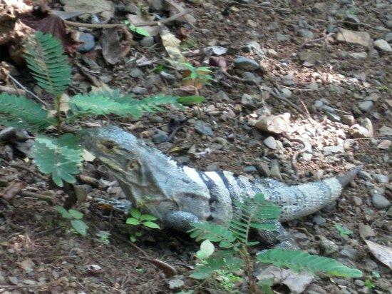 Rainforest Adventures: IGUANA ON THE NATURE TRAIL