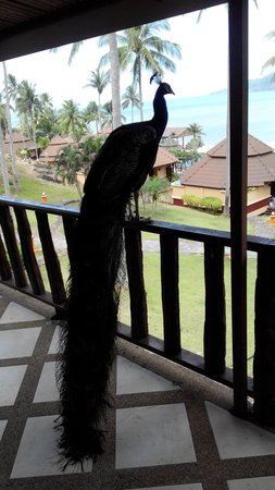 The Aiyapura Koh Chang : A guest on our porch