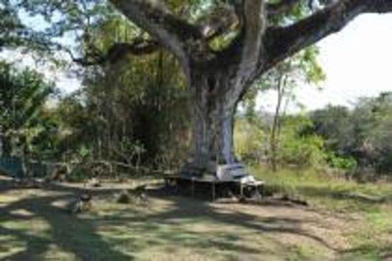Harding Hall : 100 year old guango tree