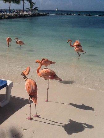 Renaissance Aruba Resort & Casino: flamingo island!