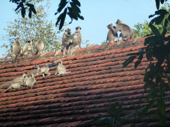 Sigiriya Village Hotel: Monkeys on our 'cottage' roof first thing in the morning.