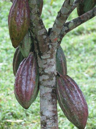 El Quetzal de Mindo : Cocoa pods on tree