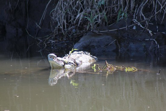 Crocodile Man Tour: One of the many crocodiles we saw from the boat.