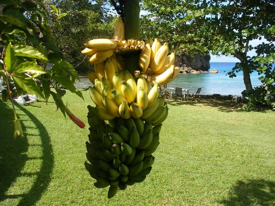 The Resort at Wilks Bay: Free Bananas in the Garden!