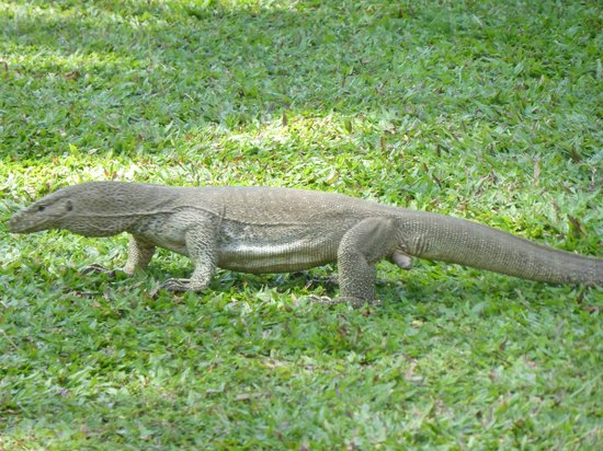 AVANI Bentota Resort & Spa: petit animal sympa se promenant sur la grande pelouse!