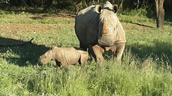 Savannah Game & River Retreat: Mum and 3 week old baby rhino. .. Feb 2014