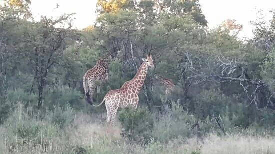 Savannah Game & River Retreat: Giraffes watching us on our game drive