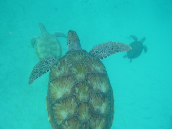Cliff Sharker: Turtles everywhere! We saw 7 in total. Photo from my underwater camera.