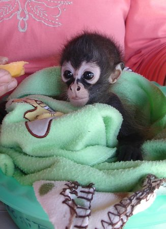 Toucan Rescue Ranch: Baby spider monkey at breakfast