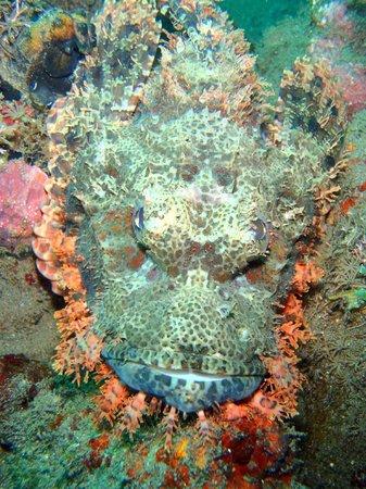 OK Divers: scorpion fish