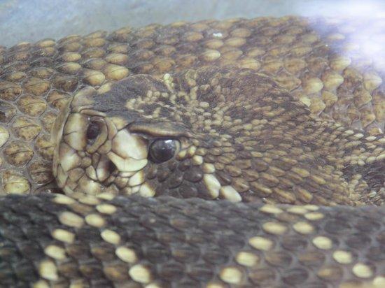 Busch Wildlife Sanctuary : Cotton Mouth.....Don;t get bit by that bad boy!