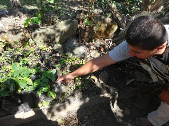 Coffee Tour El Cafetal : Our guide shows us the coffee seedlings